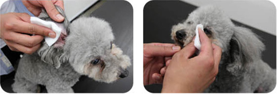 耳や目の周り、肛門などデリケートな箇所は、コットンに含ませてからケアするとやさしいです。