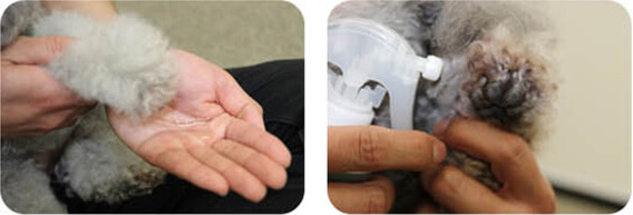 肉球や爪は、直接スプレーするか、飼い主さんの手のひらにアヴァンスをためて、ワンちゃんの手につけてください。