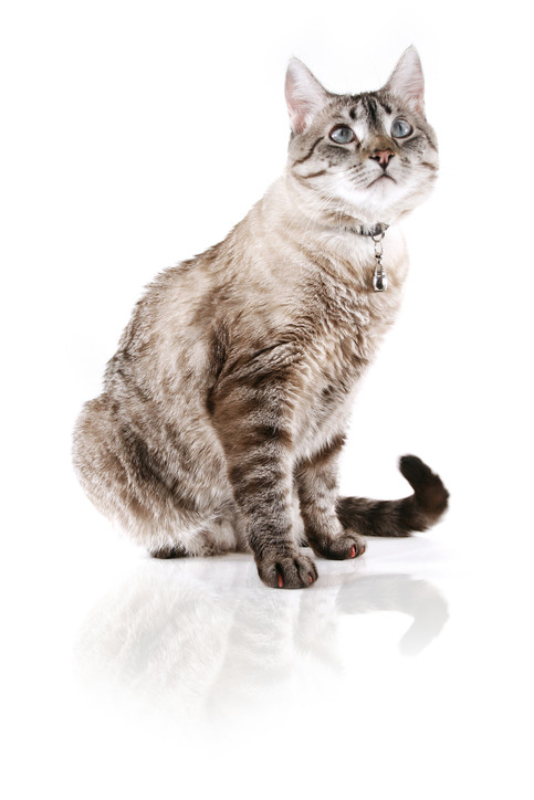 猫における皮膚病の症状や肌荒れの際の対処方法