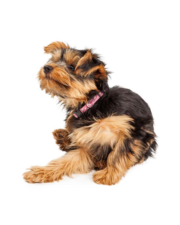 犬やペットが苦しむアトピー性皮膚炎に対するケアの方法