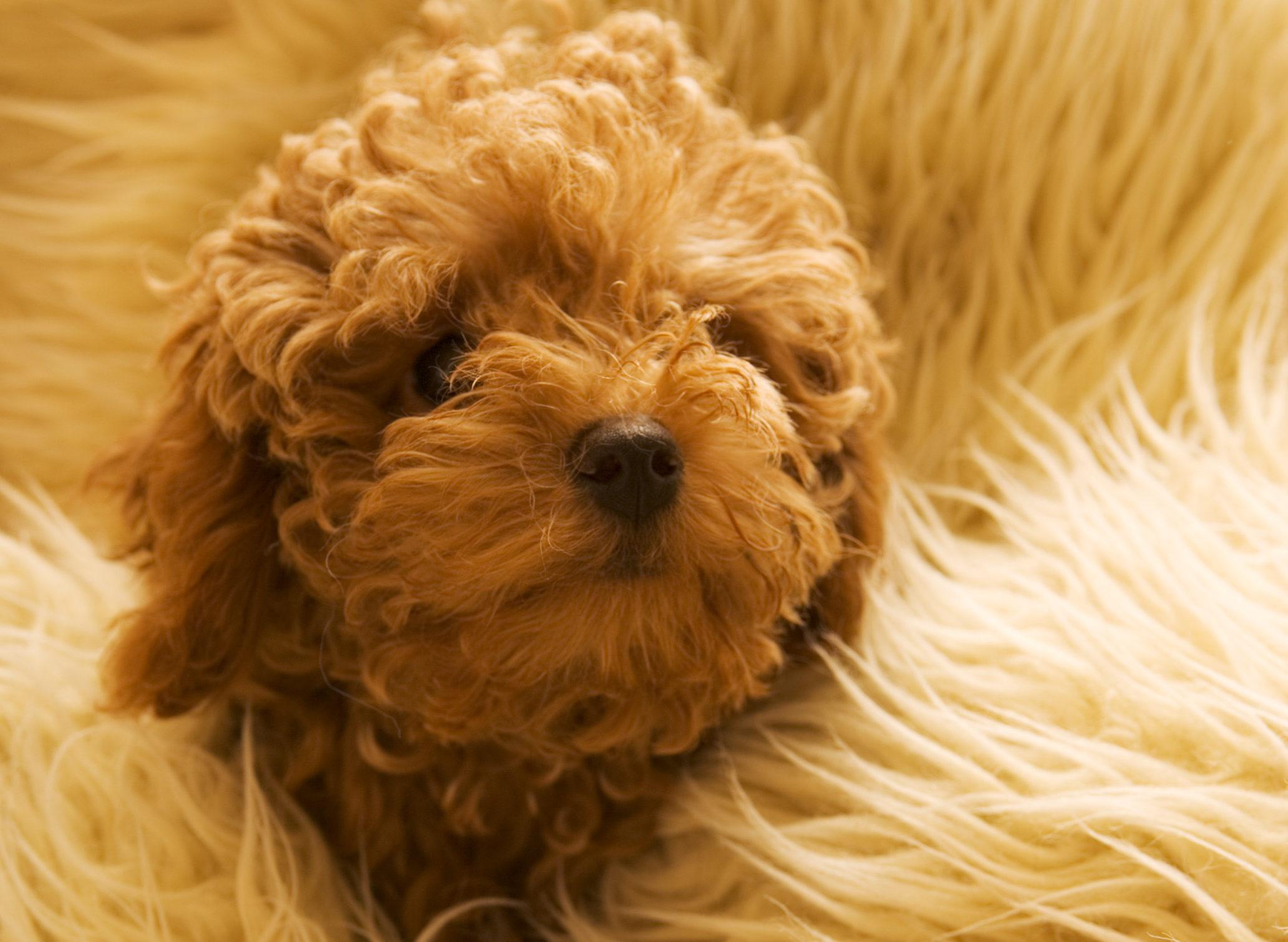 高齢犬にでやすい「イボ」の注意点やケア法